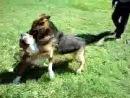 Собачьи бои Немецкая овчарка против питбуля